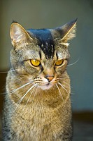 Feline look. Abyssinian cat. Felis silvestris catus. Domestic cat, housecat.