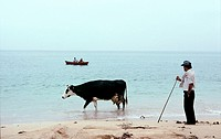 A farmer walks his cow home from grazing land behind Ladeira beach near Corrubedo and Ribeira in Galicia on Spains Atlantic coast  Corrubedo and Ribei...