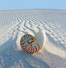 Chambered Nautilus Nautilus pompilius on sand dune