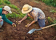 Young men harvesting potatoes on small organic farm, Nevada City, California
