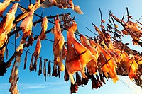 Fish hanged to dry at sun in a tree called Sabina in the island of Formentera Spain  The dried fish Peix Sec is a typical recipe of the Balearic gastr...