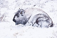 Yellowstone bison hunkers down to survive during a spring blizzard