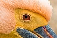 White Pelican - Pelecanus onocrotalus, Crete