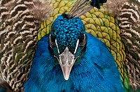 Close up of Peacock walking towards the camera