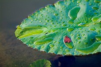Dew drops on a water lily leaf