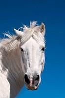 White horse, The Cevennes, France
