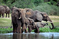 African Elephant Loxodonta africana, Murchison Falls national park, Uganda, East Africa