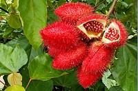 Urucum, Bixa orellana, Bixaceae, fruits, seeds, Senador Guiomard, Acre, Brazil, 2009   Capsules 4cm lenght
