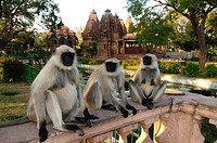 Hanuman langur Presbytis entellus, Common langur, Grey langur, adults sitting on balustrade in front of Hindu temple, Mandore Garden, Jodhpur, Rajasth...