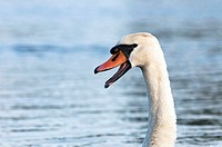 Mute swan with open mouth