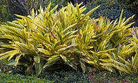 Green and yellow variegated leaves of shell ginger plants in Florida, USA