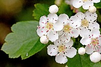 Oneseed Hawthorn, Crataegus monogyn  Spray of hawthorn   Blossoms crowd together  Blossoms of the hawthorn can be used for making wine and honey  Berr...