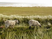 Sheep graze on the beach, Sylt, Germany