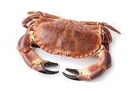 Fresh raw edible sea crab isolated on white background