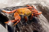 Sally Lightfoot Crab Red Rock Crab - Santa Maria Floreana o Charles Island - Galapagos Islands, Ecuador