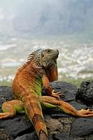 Green Iguana Iguana iguana