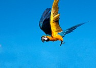 Blue and yellow macaw in flight  Also known as the Blue and gold macaw, this South American parrot can reach 85cm long and 1 3 kilos in eight  These p...