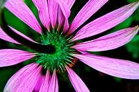 Under Echinacea purpurea