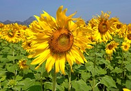 sunflower field , sunflower fields of lopburi , central Thailand