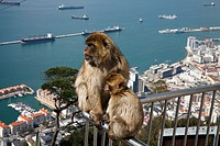 Barbary Macaque ape on the Rock of Gibraltar viewing platform hand rail