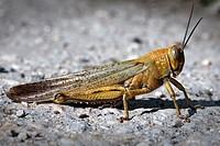 Common field grasshopper, Field Grasshopper, Chorthippus brunneus, Villena, Alicante, Valencia, España, Europa,