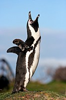 Jackass Penguin or African Penguin, spheniscus demersus, Adult calling out, Betty´s Bay in South Africa