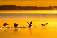 swans lifting
