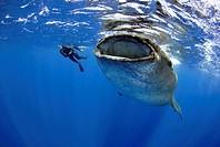 Whale shark, Rhincodon typus, Quintana-Roo, Mexico, Caribbean Sea