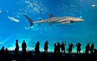 Whale shark in Okinawa Churaumi Aquarium with tourists in silhouette watching and photographing, Japan