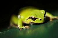 Stock photo of a European Tree Frog