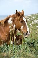 Wild horse near to Touriñan´s Lighthouse  Muxia, Coruña, Galicia, Spain