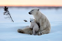 Polar bear mother Ursus maritimus with one 3 months old cubs, coming out of den in March  Wapusk National Park, Manitoba, Canada