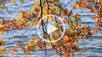 autumnal beech over lake