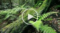 ferns, National Park Garajonay, La Gomera, Canary Islands, Spain