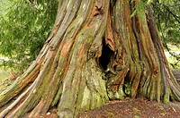 ancient western redcedar, thuja plicata, stump, Buntzen Lake Recreation Area, Anmore, British Columbia, Canada