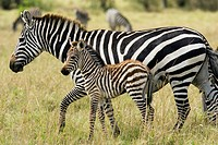 Common Zebra Mother and Baby - Masai Mara National Reserve, Kenya