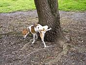 Small dog urinating on a tree. Melbourne, Australia
