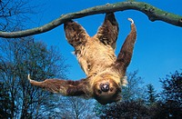 TWO TOED SLOTH choloepus didactylus HANGING UPSIDE DOWN FROM BRANCH AGAINST BLUE SKY