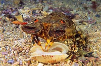 Little cape town lobster (Scyllarus arctus) devouring a Venus Clam (Venerupis rhomboideus), Eastern Atlantic, Galicia, Spain