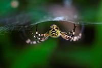 Argiope Bruennichi - The Wasp spider B side - Molina di Ledro, italy