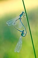 Ischnura elegans - Blue tailed damselfly - Coupling