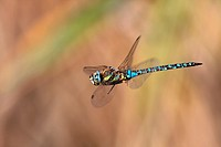 Migrant Hawker Aeshna mixta adult in flight