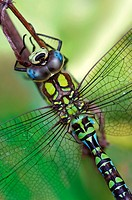 Aeshna cyanea - Southern Hawker adult male - Milano, Italy