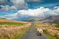 Sheep walking on a narrow road, Connemara, County Mayo, Ireland, Europe