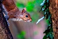 Close-up of a Gray Squirrel - Arcadia Park - Bareggio, Milano Italy