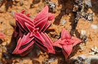 Crassula congesta turned red under the stress caused by lack of water and heat, Knersvlakte, Western Cape, Namaqualand, South Africa