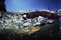 River trout (Salmo trutta fario), Rio Braña, Los Collainos, La Raya, Puerto de San Isidro, Asturias, Spain