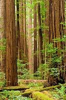 Redwood forest - Humboldt Redwoods State Park, California
