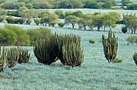 Growing Agave Plants for Tequila Production. Near Autlán, Jalisco, Mexico