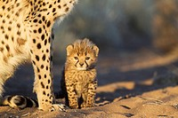 Cheetah Acinonyx jubatus - 40 days old male cub next to its mother in the early morning  Photographed in captivity on a farm  Namibia